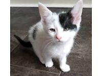 Beautiful cute female kitten for sale
