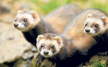 Ferrets/polecats Diggers Rest Melton Area Preview