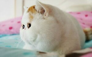 Wanted Exotic Shorthair Kitten Killara Ku-ring-gai Area Preview