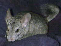 Baby Chinchillas for sale 3 - 8 months old