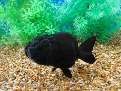 Wanted: Looking for buffalo black ranchu large size