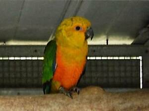 Sun and Jenday conures Cudlee Creek Adelaide Hills Preview