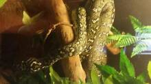 sell/swaps high yellow Gosford locale diamond python female Mansfield Brisbane South East Preview
