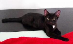 "Baby Male Cat - Domestic Short Hair-black: ""Coal"""