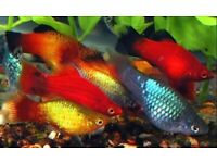 Pond Fish For Sale Gumtree