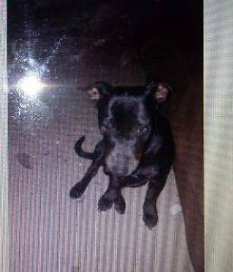 RSPCA Lost Dog Zephyr AID 952958 Caboolture Caboolture Area Preview