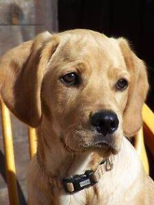 Cavador Puppies Wanted (Cavalier King Charles Spaniel & Labrador) Melbourne CBD Melbourne City Preview
