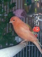 Female red factor canary