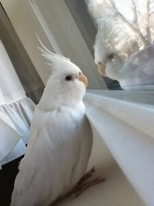 ❤❤ Extremely Friendly COCKATIEL Babies With CAGE ❤❤ Kitchener / Waterloo Kitchener Area image 3