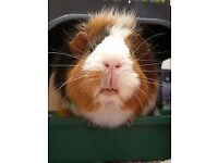 Adorable Abyssinian adult male guinea pig,