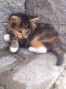 In urgent search of free fluffy kitten  London Ontario image 6