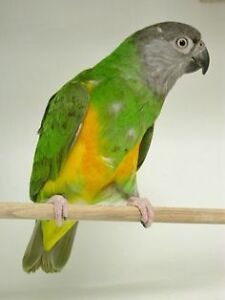 Senegal - female
