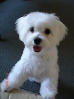 Want a Maltese puppy