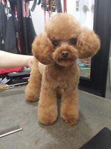 Bichon Frise grooming    specialist West Island Greater Montréal image 4