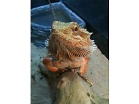Beautiful bearded dragon. Free to a good home