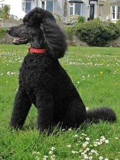Lost dog - $1000.00 reward  female Black - George's hall area Revesby Bankstown Area Preview
