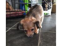 Adorable Mini Dachshund x Chihuahua puppies
