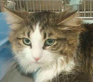 """Adult Male Cat - Domestic Short Hair: """"Gizmo 17 (Strathroy)"""""""