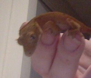 Hatchling crested gecko (4 grams)