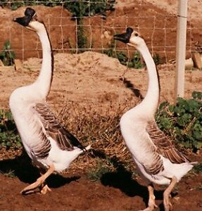 2 Chinese geese