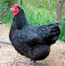 Chickens - WE ARE OPEN SATURDAY 9am to Midday! Yandina Maroochydore Area Preview