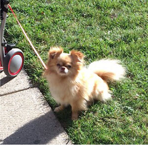 Timbit the long-haired Chihuahua London Ontario image 1