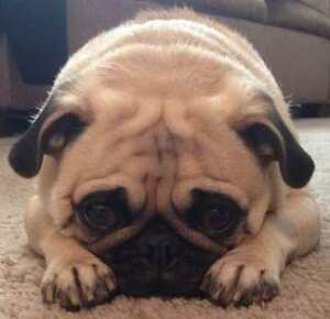 Wanted: Pug cross puppy