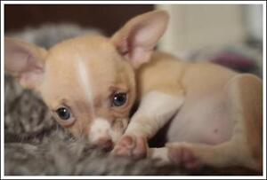 "Baby Female Dog - Chihuahua: ""Foxtrot"""