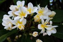 Frangipani branches $5 Mona Vale Pittwater Area Preview