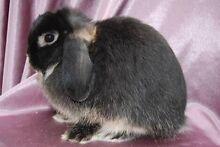 Pregnant Miniature Lop Rabbit Mulbring Cessnock Area Preview