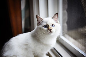 RARE (Spayed) Chocolate Lynx Tortie Ragdoll Purebred with Papers