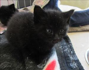 """Baby Male Cat - Domestic Short Hair: """"Pockets"""""""