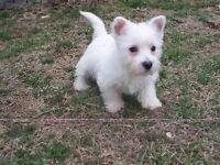 West highland terrier pup (Westie)