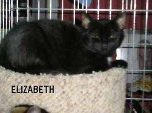 "Young Female Cat - Domestic Short Hair-black: ""Elizabeth"""