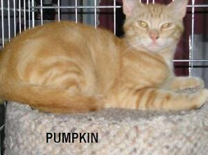 "Young Male Cat - Domestic Short Hair-Tabby - Orange: ""Pumpkin"""