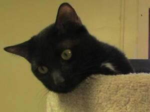 "Adult Male Cat - Domestic Short Hair: ""Sinatra"""