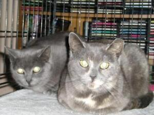 "Adult Female Cat - Domestic Short Hair: ""Becky and Susie"""