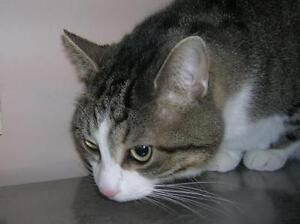 "Adult Female Cat - Domestic Short Hair: ""Abby"""