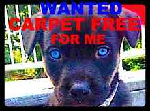WANTED CARPET FREE FOR OLD RESCUE DOGS  TO KEEP WARM IN WINTER Logan Reserve Logan Area Preview