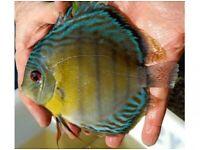 Tropical Discus live fish, Arowana ,Angelfish, pleco Altum Angels community aquarium tank fish