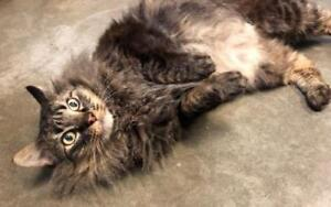 """Adult Male Cat - Domestic Long Hair: """"Chinook"""""""