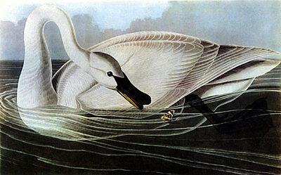 Trumpeter Swan (Trumpeter Swan 15x22 Hand Numbered Ltd. Edition Audubon Bird Art Print)