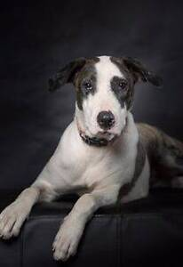 Adopt Angel 1yr Bull Arab X North Ward Townsville City Preview