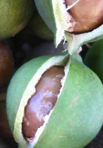 Macadamia or Walnut Nut Farmer Wanted Pooraka Salisbury Area Preview