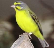 Green Singers Finches Reservoir Darebin Area Preview