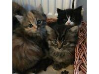 Beautiful fluffy 3/4 Persian Kittens