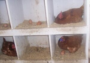 Chickens (Laying hens)