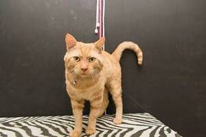 AC0418: Kennedy - CAT for ADOPTION - Vet work included Bayswater Bayswater Area Preview