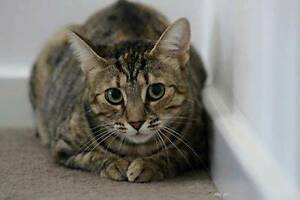 AC0393: Nefertiti - CAT for ADOPTION - Vet work included Kewdale Belmont Area Preview
