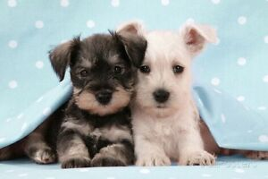LOOKING TO BUY A miniature  or small puppies - females only Yagoona Bankstown Area Preview